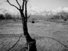 Irrigated Tree, Manzanar